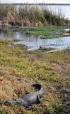 Cocodrilo americano en la orilla Imagen de archivo