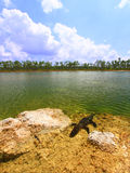 Cocodrilo americano (mississippiensis del cocodrilo) Imagen de archivo