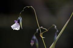 Cocodrilo-bandera doblada planta de agua en la floración Imagen de archivo libre de regalías