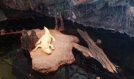 Cocodrilo blanco que pone en una roca imagen de archivo