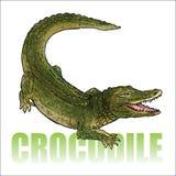 Cocodrilo - cocodrilo Imágenes de archivo libres de regalías