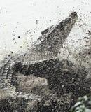 Cocodrilo cubano que lucha Foto de archivo