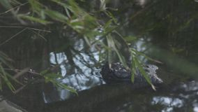 Cocodrilo de Gharial en una orilla del río, la India almacen de video