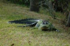Cocodrilo de la Florida foto de archivo