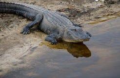 Cocodrilo de la Florida fotografía de archivo