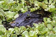 Cocodrilo de la Florida que está al acecho debajo de la hoja de la lechuga Foto de archivo