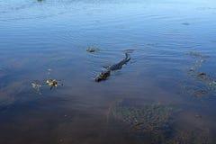 Cocodrilo de la natación Fotos de archivo libres de regalías
