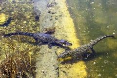 Cocodrilo de la natación/Crocodylus cubanos Rhombifer/ imágenes de archivo libres de regalías