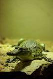 Cocodrilo de Morelet (moreletii del Crocodylus) Foto de archivo