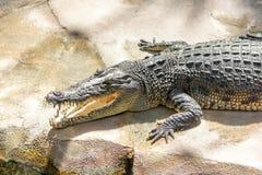 Cocodrilo de risa dientes y cabeza del cocodrilo foto de archivo
