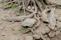 Cocodrilo del agua salada o saltie o porosus de estuario o indo-pacífico del cocodrilo o del crocodylus Imagenes de archivo
