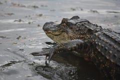 Cocodrilo del arrastramiento en las aguas cenagosas bajas de Luisiana foto de archivo