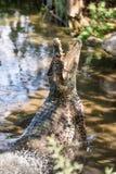 Cocodrilo del ataque Cocodrilo cubano (rhombifer del Crocodylus) foto de archivo libre de regalías