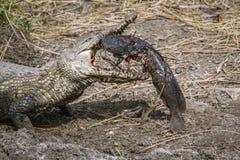 Cocodrilo del Nilo en el parque nacional de Kruger, Suráfrica Fotografía de archivo