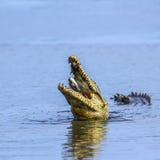 Cocodrilo del Nilo en el parque nacional de Kruger, Suráfrica Imagen de archivo libre de regalías