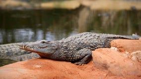 Cocodrilo del Nilo, niloticus del crocodylus Imágenes de archivo libres de regalías