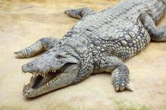Cocodrilo del Nilo, niloticus del crocodylus Fotos de archivo libres de regalías