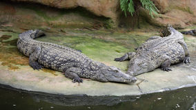 Cocodrilo del Nilo, niloticus del crocodylus Imagen de archivo