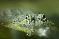 Cocodrilo del Nilo (niloticus del Crocodylus) Fotos de archivo libres de regalías