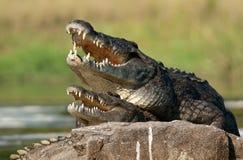 Cocodrilo del Nilo (niloticus del Crocodylus), acoplándose, fotografía de archivo