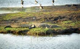 Cocodrilo del Nilo, parque nacional de Chobe, Botswana fotografía de archivo