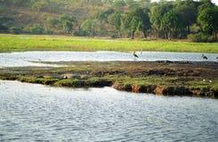 Cocodrilo del Nilo, parque nacional de Chobe, Botswana imagenes de archivo