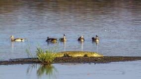 Cocodrilo del Nilo y ganso egipcio en el parque nacional de Kruger, Afr del sur Imágenes de archivo libres de regalías
