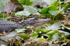 Cocodrilo del pantano de Okefenokee fotografía de archivo