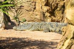 Cocodrilo delNilo Crocodylus niloticus royaltyfri fotografi