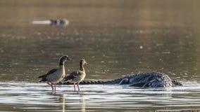 Cocodrilo egipcio del ganso y del Nilo en el parque nacional de Kruger, del sur Fotografía de archivo libre de regalías