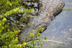 Cocodrilo el dormir en la Florida Imagen de archivo
