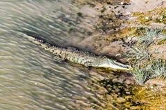 cocodrilo en agua, en Costa Rica America Central imagen de archivo libre de regalías