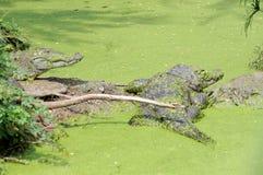Cocodrilo en el agua cubierta de musgo Fotos de archivo