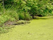 Cocodrilo en el pantano de Luisiana Imágenes de archivo libres de regalías