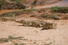 Cocodrilo en el safari fotos de archivo