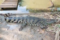 Cocodrilo en granja del cocodrilo de Sampran imagen de archivo libre de regalías