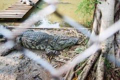 Cocodrilo en granja del cocodrilo de Sampran Imagen de archivo
