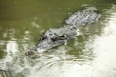 Cocodrilo en la natación del pantano Foto de archivo libre de regalías