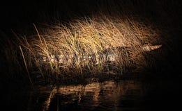 Cocodrilo en la noche Fotografía de archivo libre de regalías