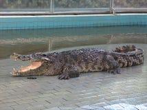 Cocodrilo en piscina Imagen de archivo libre de regalías