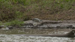 Cocodrilo en una roca de la orilla del río, Wisirare, Colombia almacen de video
