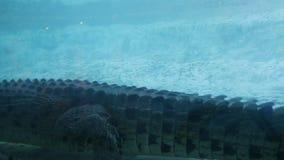 Cocodrilo enorme que camina debajo del agua, escena del parque zoológico almacen de video