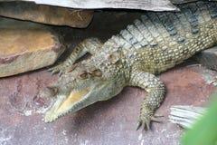 Cocodrilo filipino (mente de los novaeguineae del Crocodylus imagen de archivo