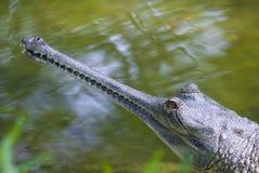 Cocodrilo gharial Fotos de archivo libres de regalías