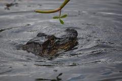 Cocodrilo grande en el coto del pantano de Barataria en Louisisana fotos de archivo libres de regalías