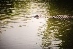 Cocodrilo grande que miente en el agua inmóvil para tomar el sol Una CRO (coordinadora) grande Fotografía de archivo