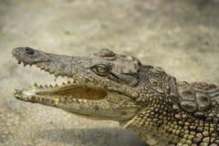 Cocodrilo joven que descansa en agua en el parque del cocodrilo, Uganda imagenes de archivo
