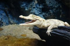 Cocodrilo juvenil del albino, cocodrilo del albino foto de archivo libre de regalías
