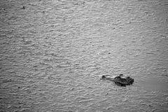 Cocodrilo oscuro Foto de archivo libre de regalías