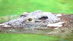 Cocodrilo peligroso que gandulea por un río del agua verde, detalle áspero de la piel almacen de video